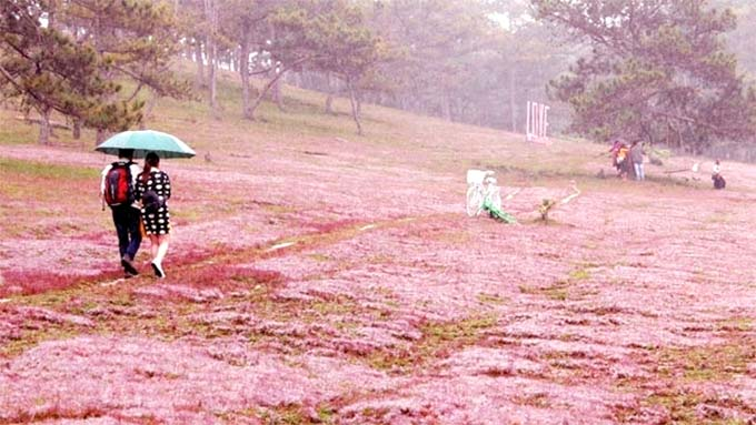 Second Lang Biang pink grass festival scheduled for late November